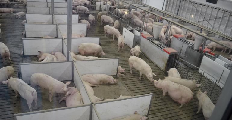 Training Sows Gilts Key To Esf Success National Hog Farmer
