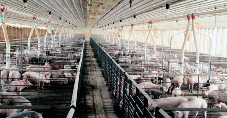 Wide shot of a room of growing pigs in pens divided by an alleyway.