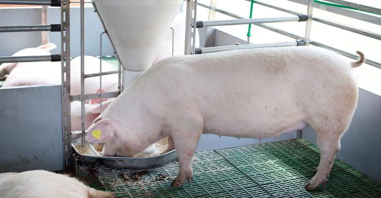 hog eating