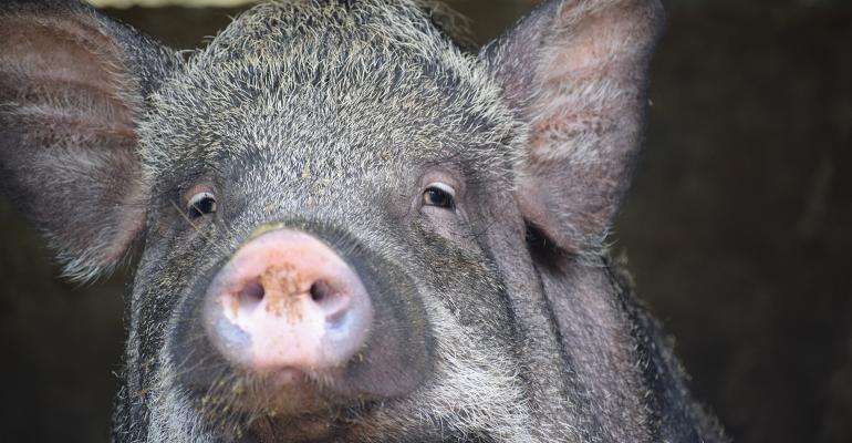a pig in Vietnam