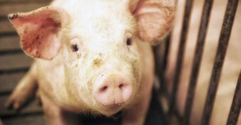 closeup of a pig
