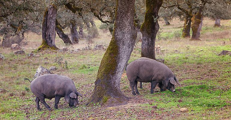 The Iberian pig is traditionally raised in oak forests with evening sheltering in stone houses.