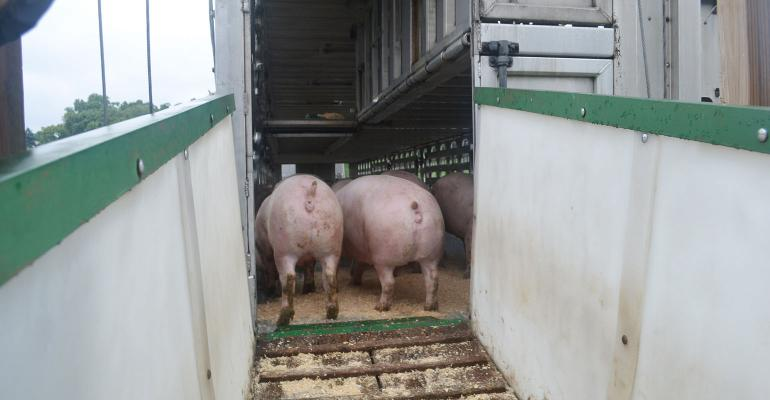 Market hogs at top of ramp to a trailer.