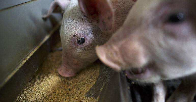 piglets at a feeder