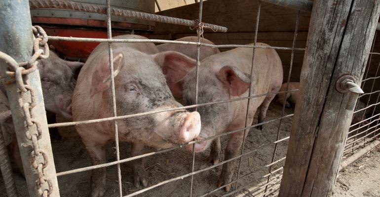 Pigs in a hoop barn