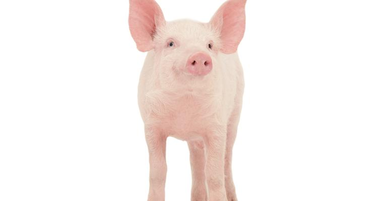 single pig on white background