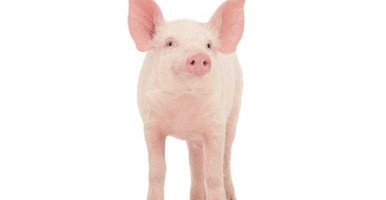 single pig on white background