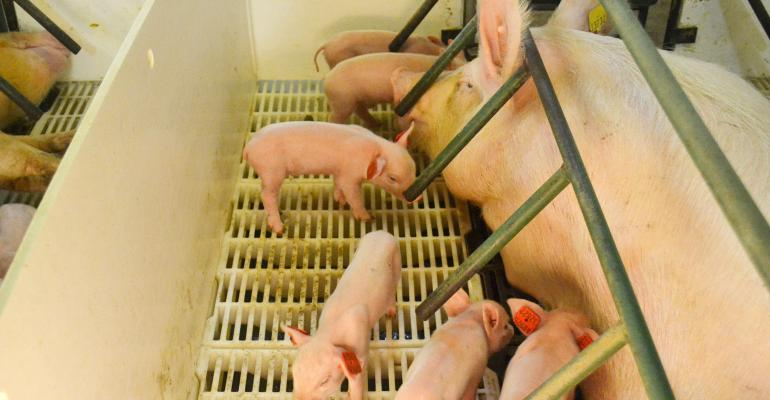Sow and piglets in farrowing stall