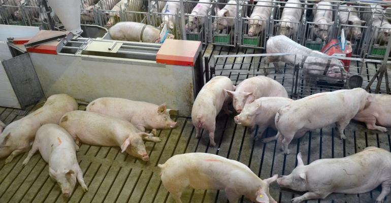 Gilts in a group housing pen