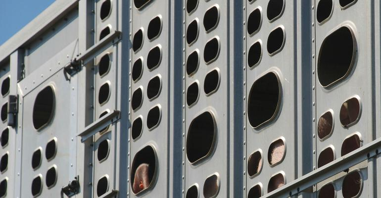 Hogs on livestock trailer