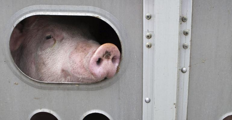 Pig peeking out from a livestock trailer