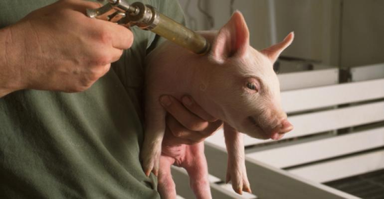 vaccinating a pig