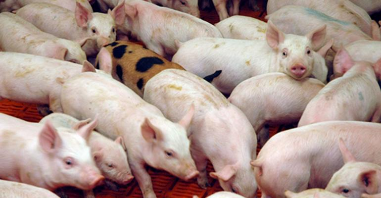Closeup picture of pen of weaned pigs