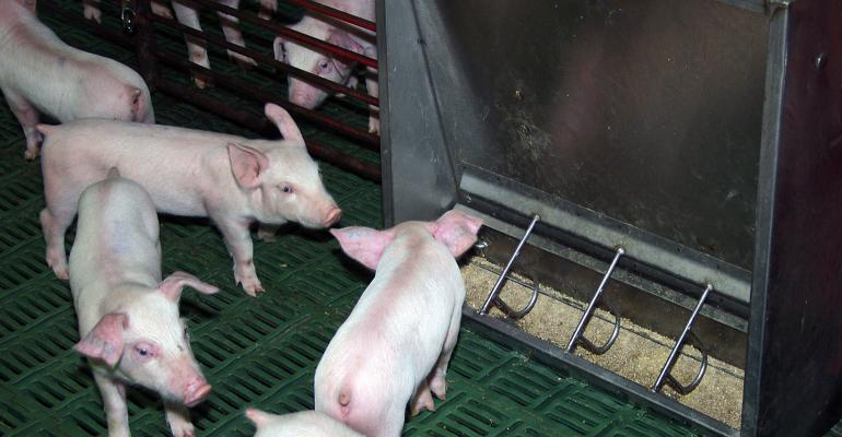 Young pigs by a feeder