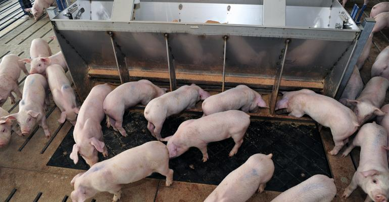 White pigs at a feeder in a pen.