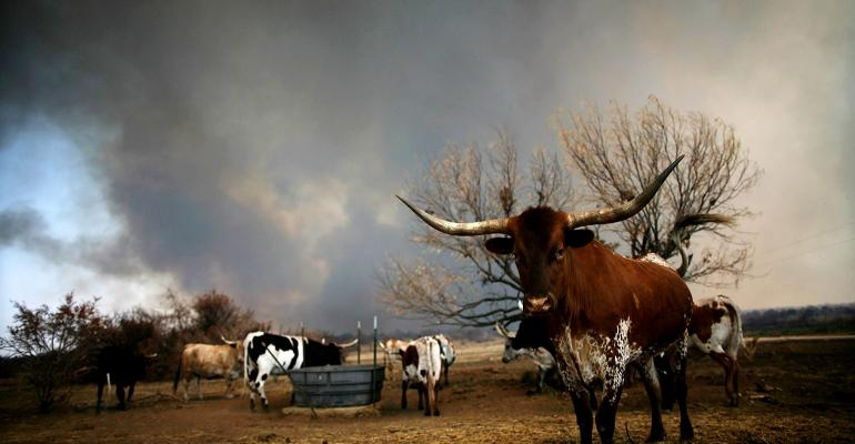 Wildfire burns in Texas; Longhorn cattle in the foreground