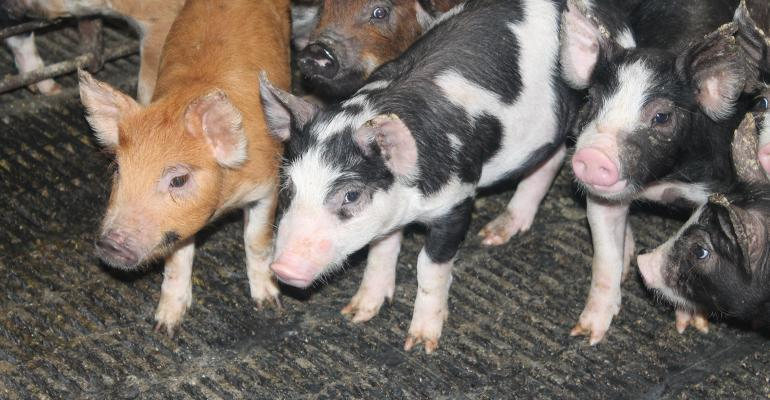 young multi-colored pigs