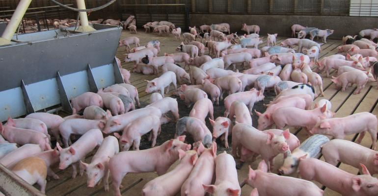 Large pen of young pigs.