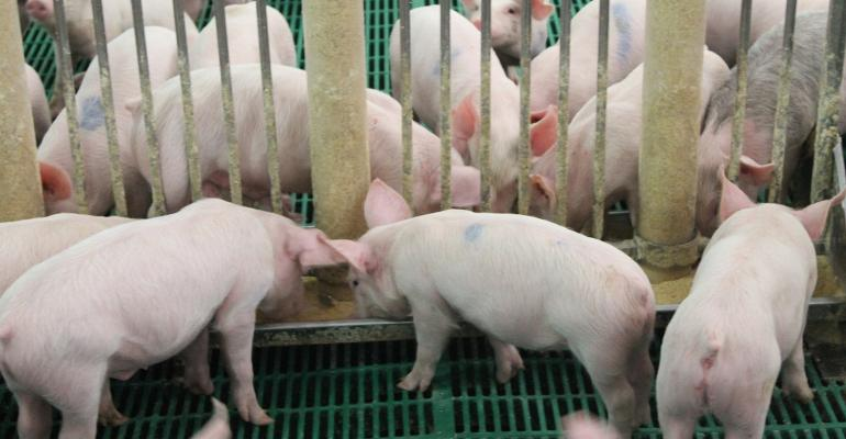 Photo of young white pigs lined up at a feeder.