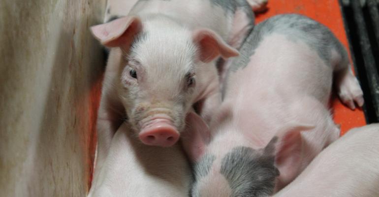 Nursery Piglets