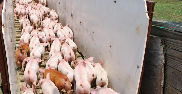 Pigs unloading