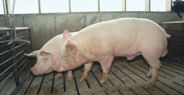 As the boar noses the sow or gilt he releases pheromones bound in his saliva which stimulate a female in heat