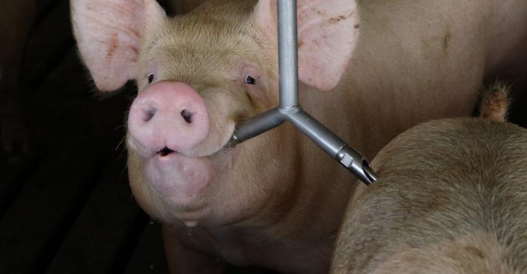 Pig Drinking.JPG