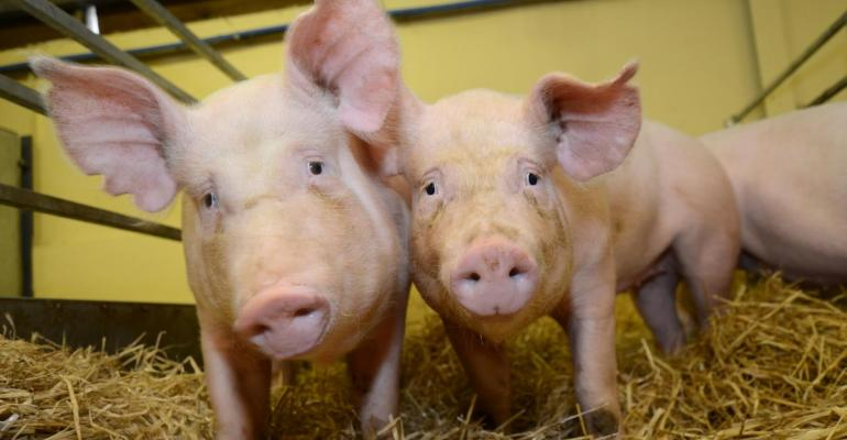 PRRS-resistant pigs