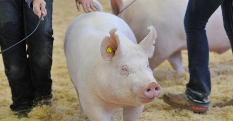 pig in show ring