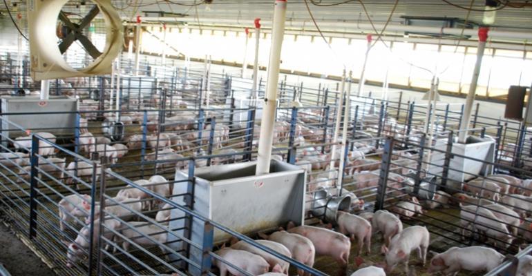 pigs in barn pens