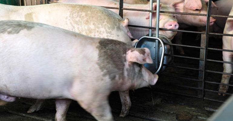 finisher pigs at a waterer