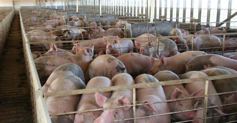 hogs in finishing barn