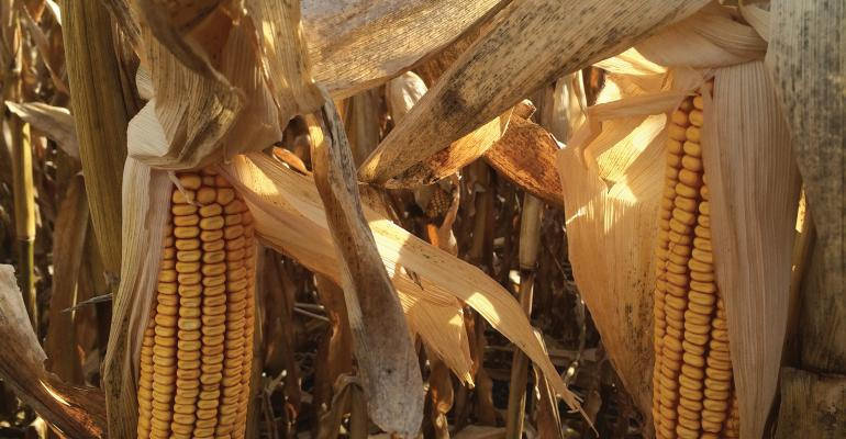 Growing conditions for corn this year have been challenging, with a late start, flooding and drought. This sets the stage for the potential of mycotoxins appearing in the grain.