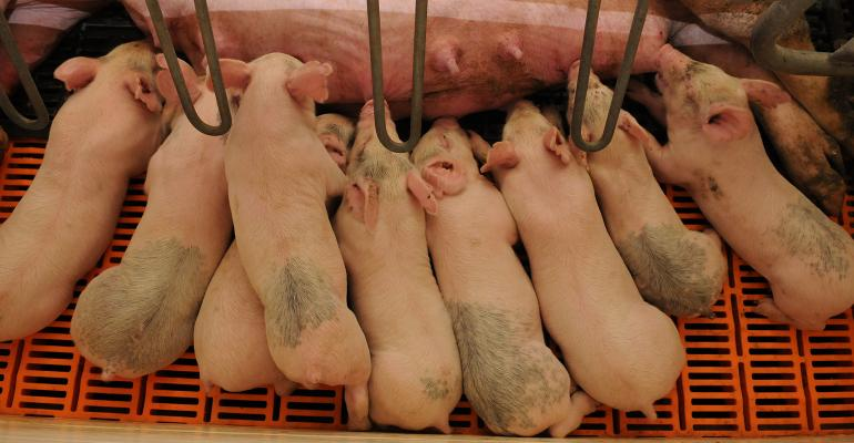 Litter of pigs nursing on a sow.