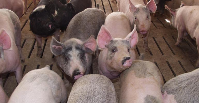 Finisher pigs in a pen in a barn