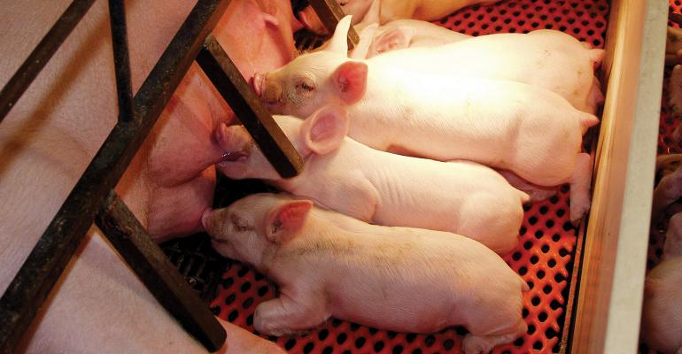 All classes of pigs are susceptible to heat stress during summer, but sows are particularly sensitive around the time of farrowing and during lactation.