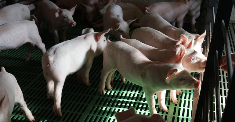 Pigs in a pen in a barn