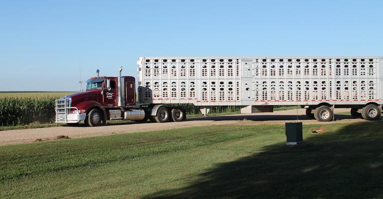 Semi truck hauling market hogs from a farm