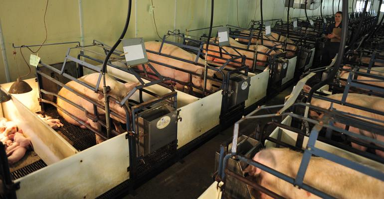 Sow in their stalls in the farrowing room