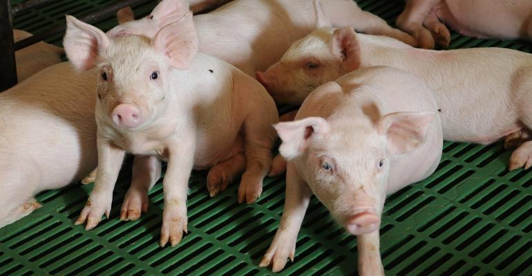 Pen of weaned piglets
