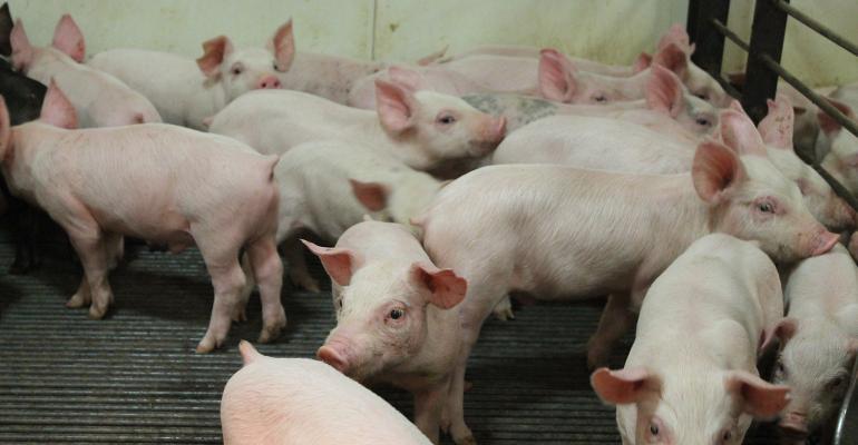 Feeder pigs in a pen