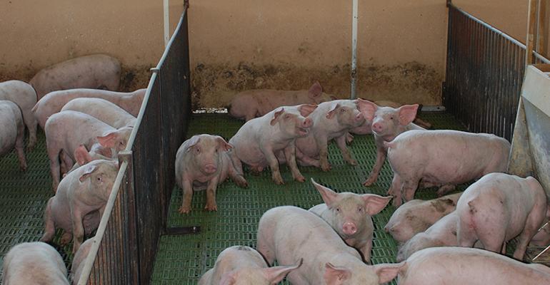 Sanders feeder pigs