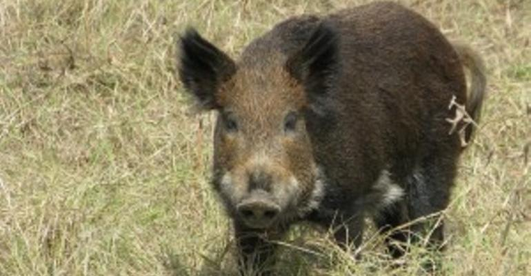 Feral Swine Surveillance Focuses on Classical Swine Fever