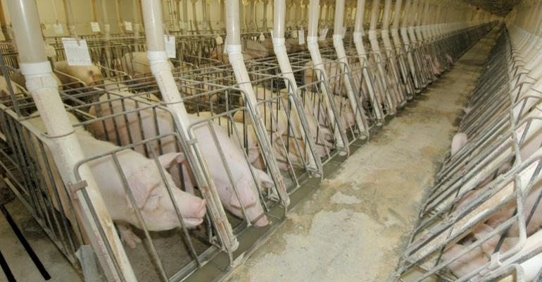 Research Reviews Top Reasons Producers Cull Sows