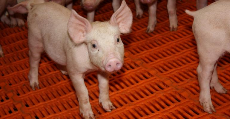 Scientists Identify Pigs with Reduced Susceptibility to PRRS