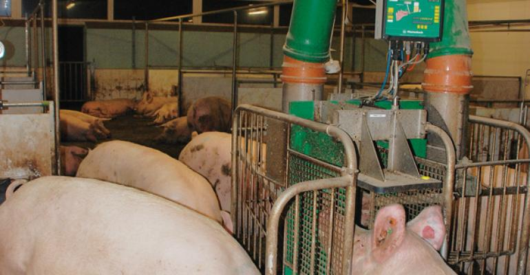 Small producers in the European Union tend to operate electronic sow feeding ESF systems with dynamic groups while large operations tend to manage sows in static groups