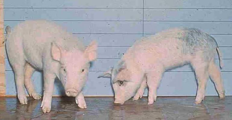 The pig pictured on the left is consuming a normal diet while the one on the right is consuming feed with aflatoxin