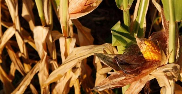 Crop Report Paints Dark Picture of Corn Supply, Prices