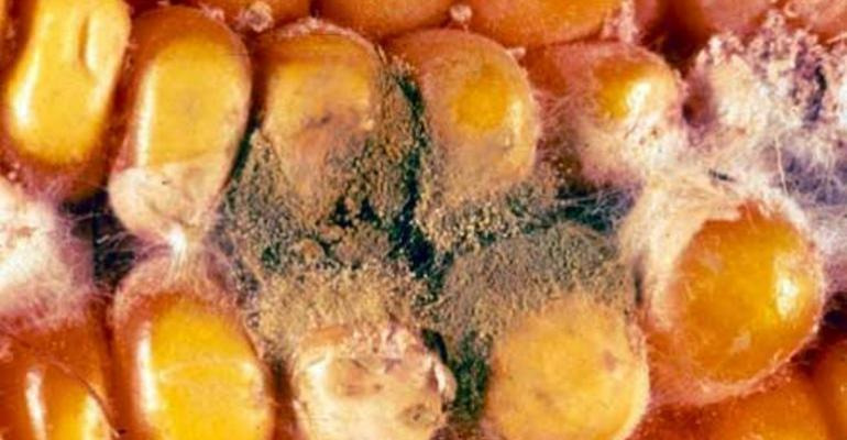 Michigan Finds Little Aflatoxin in Corn