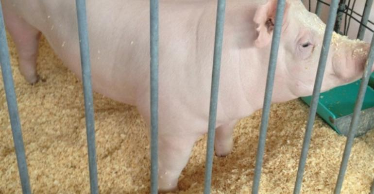 Most Flu Infections in Fair Pigs Unapparent